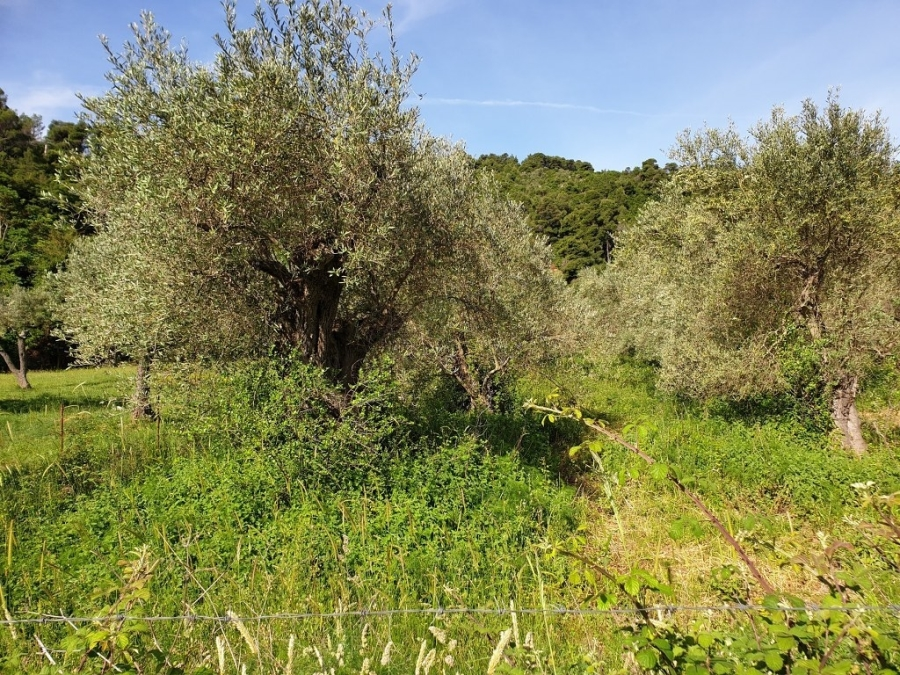 For Sale Agricultural Land 4200 sq.m. Sporades-Skopelos – Stafilos